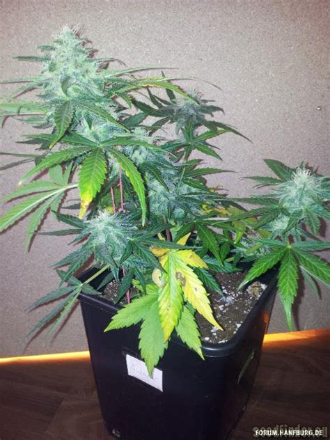 Royal AK Automatic (von Royal Queen Seeds) :: SeedFinder