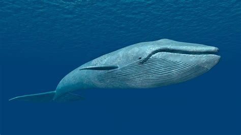Central Java set to welcome first blue whale exhibit