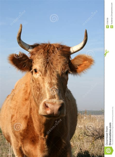 Cow with Horns stock photo